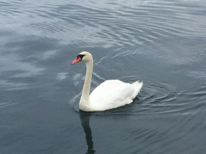 A swan visitor to the boat