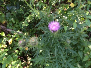 A thistle along the way