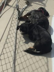 Pickles originally found the perfect sun spot on the port side deck and of course, Phinneus decided to take the best sun!