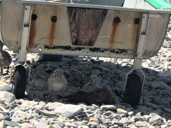 The beach baby seagulls finding shade under the dinghy