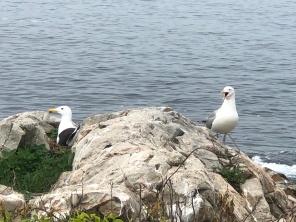 Black Back and Herring Gull