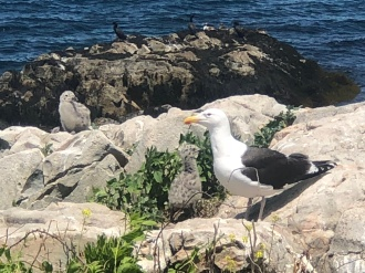 The Black Back Gull and her 2 babies