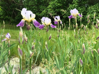 An iris bed tucked away in the yard