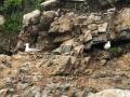 Herring Gulls nesting along the cliffs