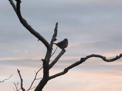 Sparrow at Sunrise