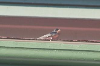 Sparrow juvenile