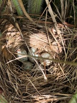 Swallow nest 5 eggs