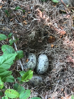 The first Herring Gull nest