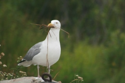 Adult Seagull