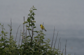 Goldfinch3