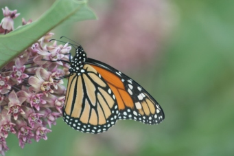 Monarch and milkweed1