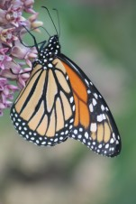 Monarch and milkweed3