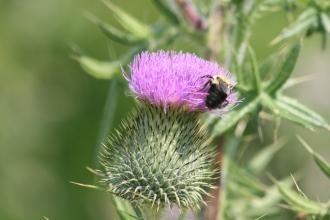 Thistle & Bee